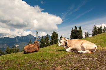 liegende Kuh auf Alm