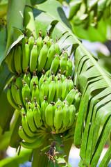 Bananenbaum mit Blüte und Bananen