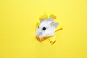 Hamster Appearance