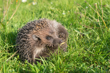 Hedgehog on back curled in the grass