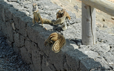 Écureuil de Barbarie (Atlantoxerus getulus) à Betancuria à Fu