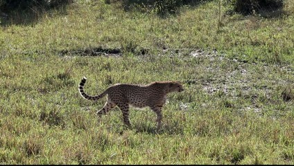 Cheetah  Africa Wildlife Safari Stalking