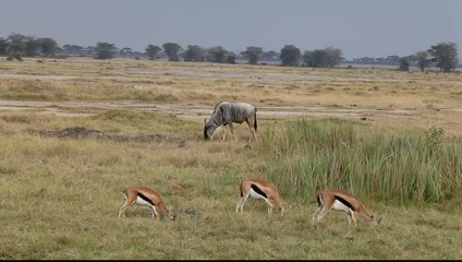 Wildebeest and Thomson's gazelles eating grass.