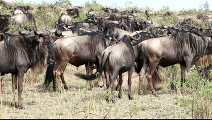 Close Up Of  A File Of Wildebeests Migrating