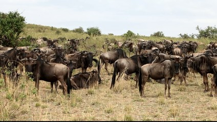 Large herd of wildebeest grazing in the field.