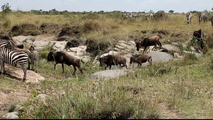 Migration Of Wildebeest