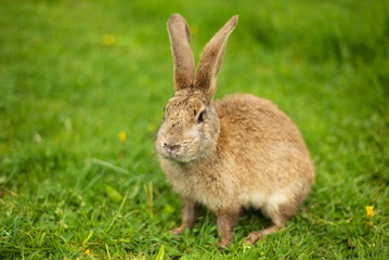 Rabbit on grass. Composition with animal