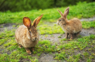 Rabbits on grass. Composition with animal