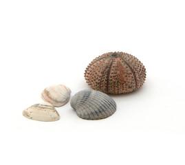 Seeigel mit 3 Muscheln