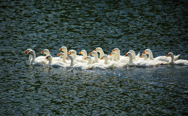 young geese swimming on lake