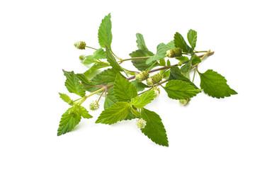Aztec Sweet Herb