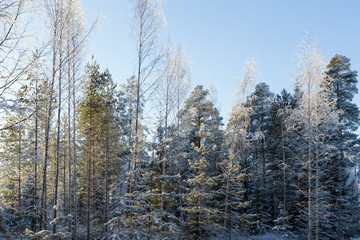 Frosty and snow covered trees in a forest in winter