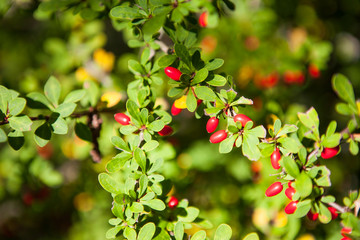 Red Barberry fruits