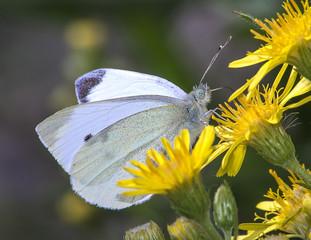 La farfalla si siede su un petalo di fiore