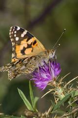 Farfalla si posa su un fiore