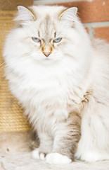 White cat of siberian breed