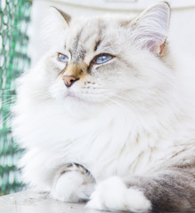 White cat of siberian breed