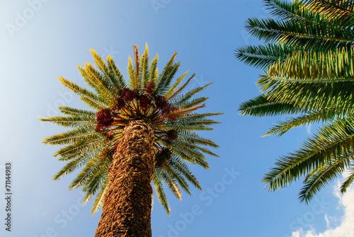 canvas print picture Palme su sfondo azzurro, cielo