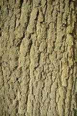 Tronc de chêne