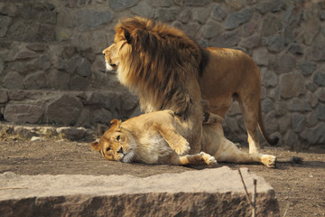 Cute Lions Family