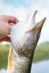 caught pike in а hand of a fisherman