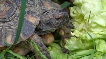 Marginated tortoise is eating a big salad between grass, macro