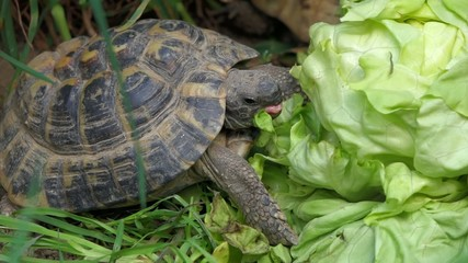 Greek tortoise is eating a big salad between grass, close up