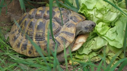 Greek tortoise is eating a big salad between grass, tripod