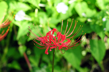 Red spider lily-8