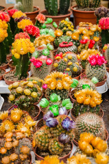 Various colorful blooming cactuses in pots on the market
