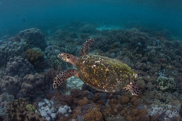 Endangered Hawksbill Sea Turtle