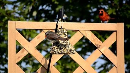Cardinal couple at a hanging bird feeder