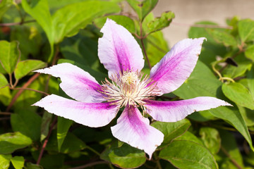 Light purple clematis flower