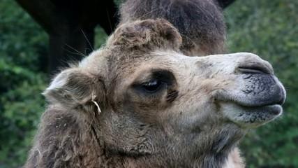 Kamel zeigt Lippe