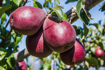 Group of red pears in an orchard
