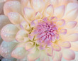 White dahlia with water drops. Close-up.