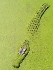 Big crocodile and green plant in lake