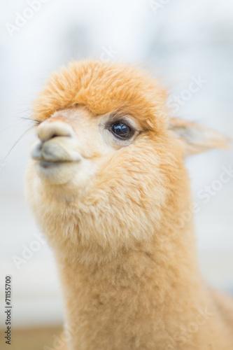 Foto op Canvas Lama Closeup of an Alpaca
