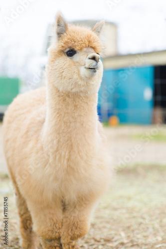 Foto op Plexiglas Lama Closeup of an Alpaca