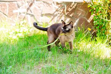 Burmese cat walking outdoors on green meadow