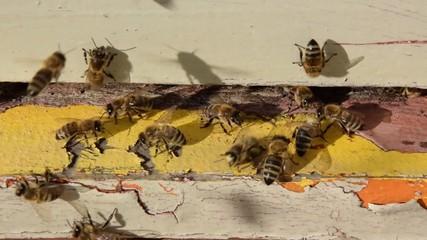 Honigbienen Biene apis 1036