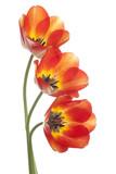 tulip - 71158962