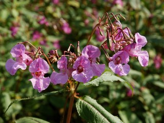 Impatiens roylei plant blossoming