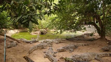 Many Crocodiles in a Crocodile Farm. Thailand. Slow Motion.