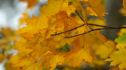 Autumn maple leaves close-up
