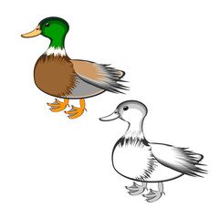 A duck isolated on a white background