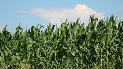 Corn Farm Against Blue Sky