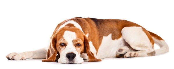 beagle  isolated on white