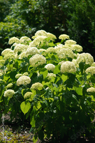 Foto op Plexiglas Hydrangea Hydrangea arborescens Annabelle