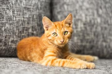 domestic red kitten